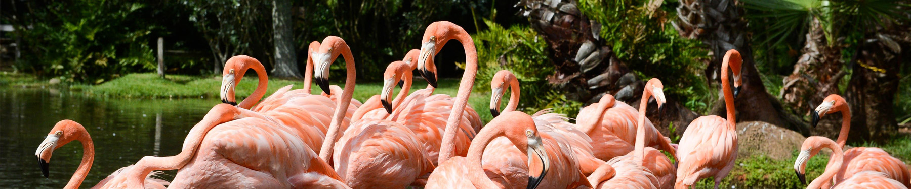 A flock of flamingos exploring one of Sarasota's tropical locales